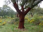 Cork oaks are harvested of their cork every 9 years approx. It´s always done in Summer and as the process is staggered then somewhere and sometime you will always come across this beautiful reddish/brown colour of the bark under the cork.