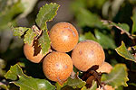 Galls are rich in tannins, commonly used in the leather-industry
