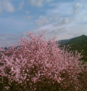 Almond blossom in Grazalema Natural Park