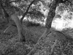 Black and white study of cork trees