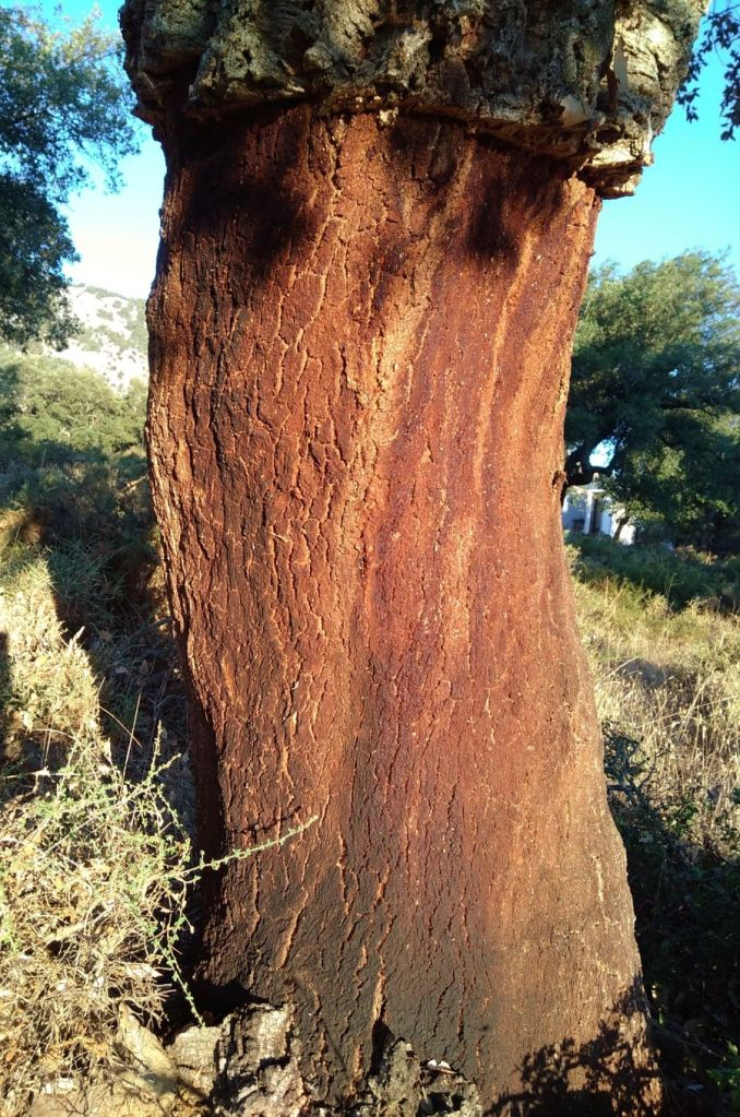 cork tree after being stripped