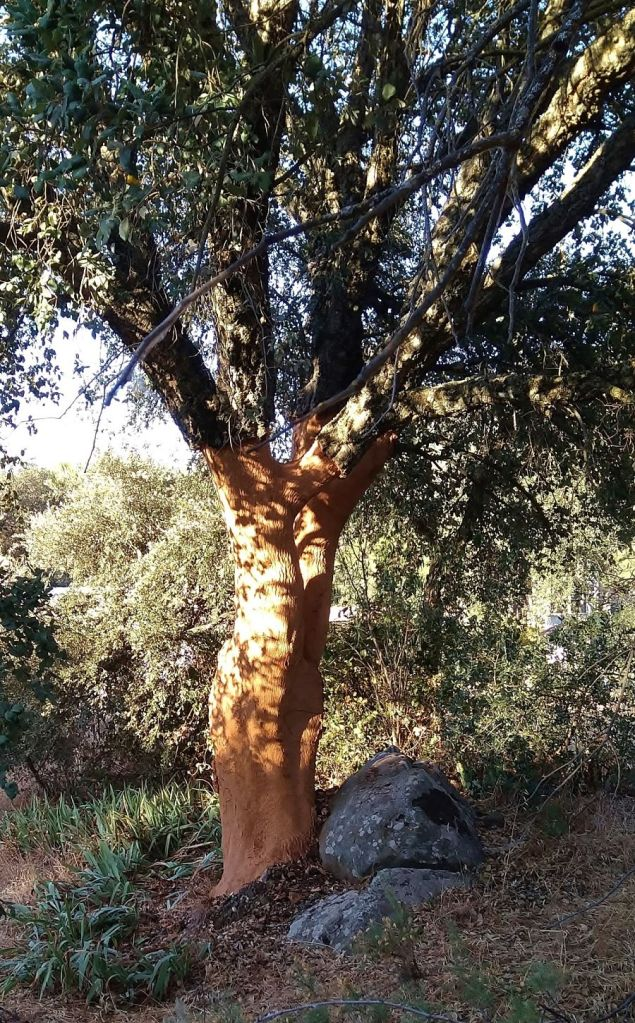 cork tree in the Parque Natural Sierra de Grazalema