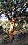 cork tree in the Parque Natural Sierra de Grazalema