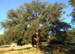 cork tree near Grazalema