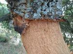 cork trees in the Sierra de Grazalema