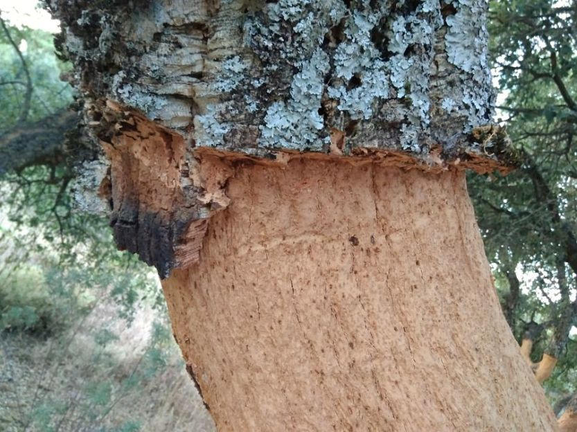 cork trees in the Sierra de Grazalema
