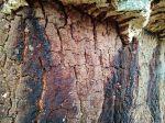 pattern of quercus suber cork oak